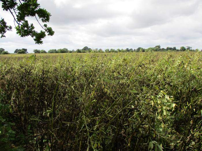 After coffee in the churchyard, we cross fields - lots of beans looking very black