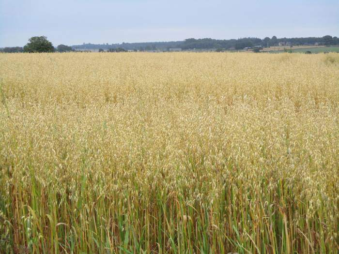Oats in this field - we don't often see that around here