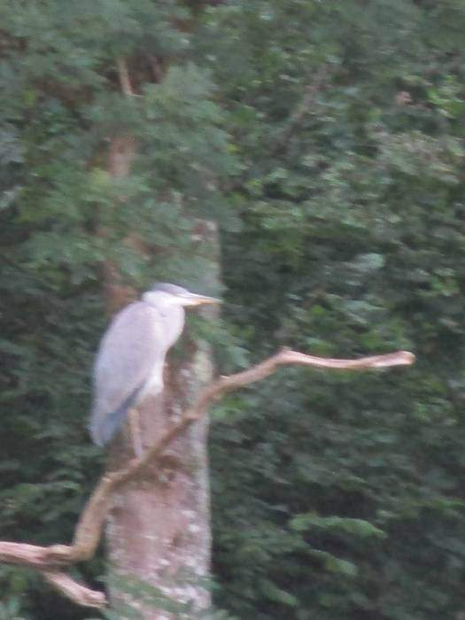 A heron leads us on, stopping on branches then moving on