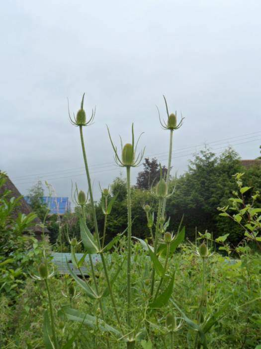 Teasels look good