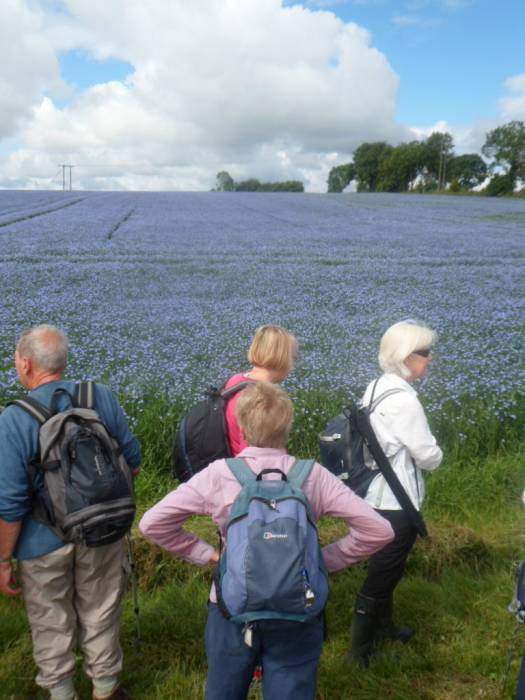 A beautiful field of linseed