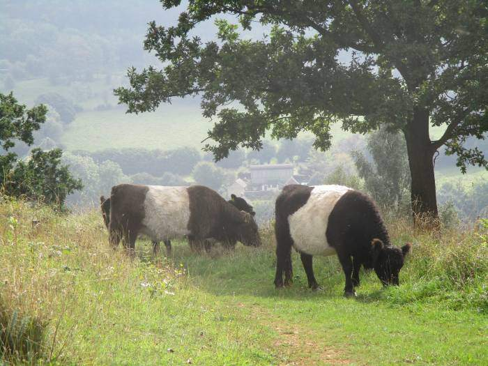 On Sheepscombe Common the National Trust Belted Galloways are hard at work