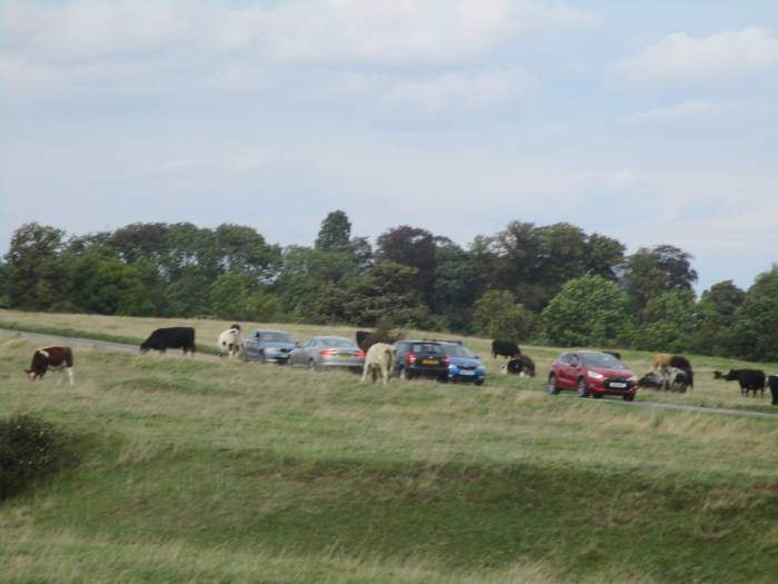 Cows and cars in close proximity