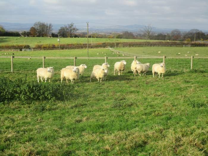 An idyllic scene - clean sheep (after the rain?)