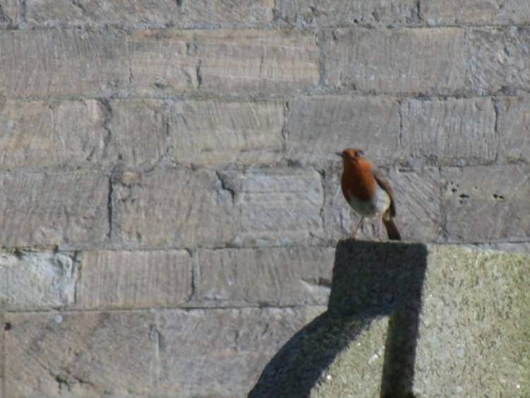 In the sunshine this robin sings in Uley Churchyard