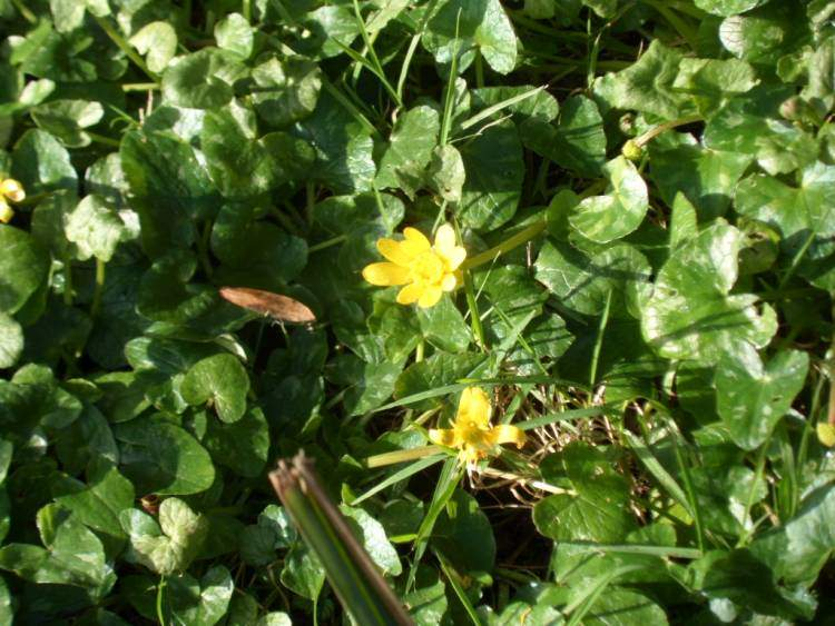 And the celandines are out.