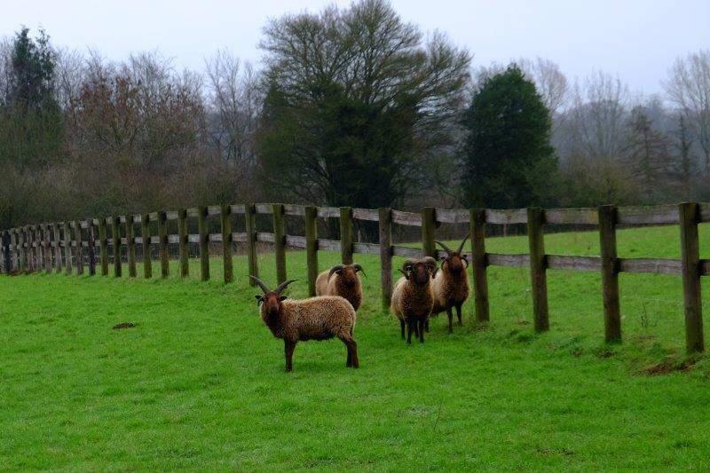 Encountering some strange sheep - Manx Loaghtans, a primitive breed