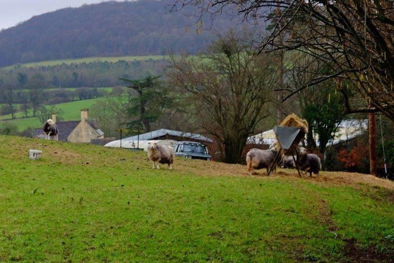 Some Herdwick sheep