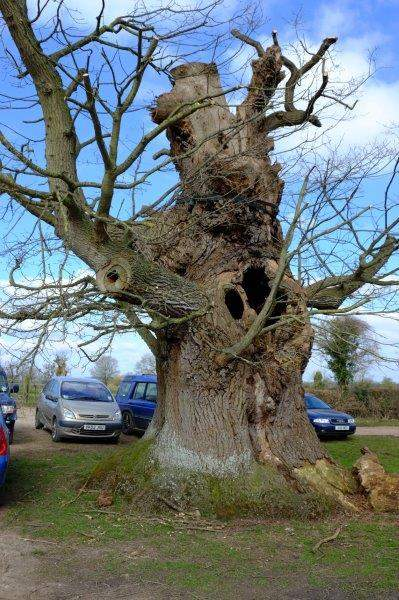 A gnarled old tree in the car park