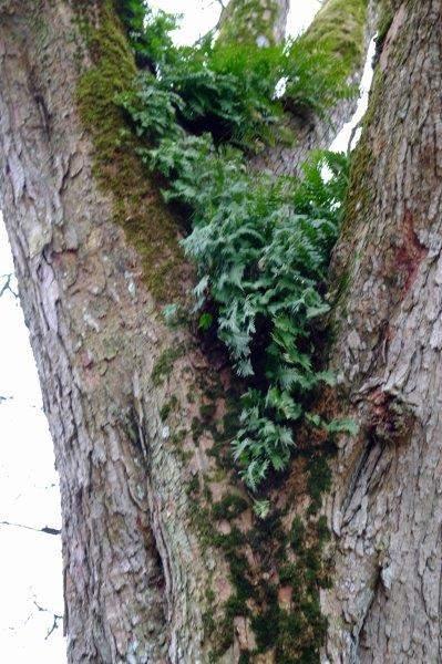 Ferns growing in trees