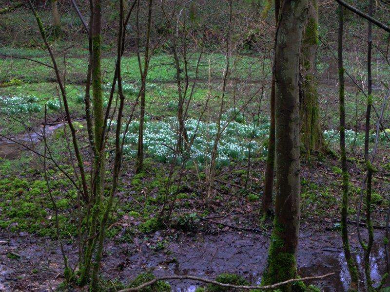 Could that be snowdrops?