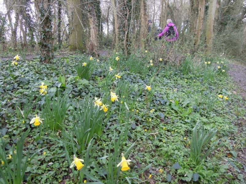 We spot some natural daffodils, like those near Newent, much smaller than garden types