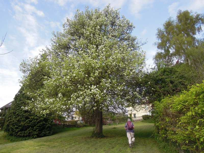 A pear tree in full blossom
