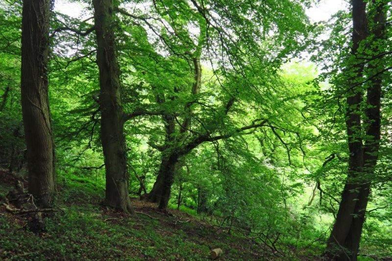 Through beech woods