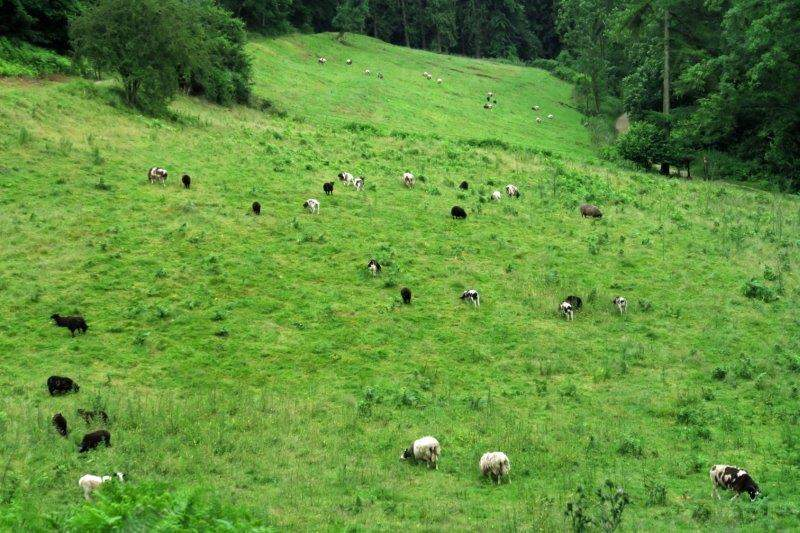 Jacobs sheep scattered over the hillside