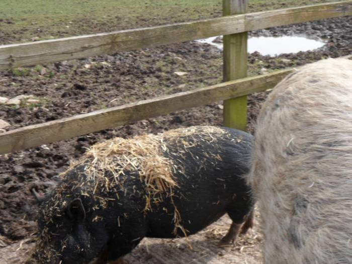 This piglet near the village hall clearly wants to be blond!