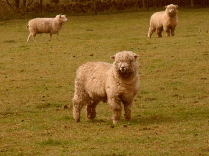 Cotswold Lion lambs