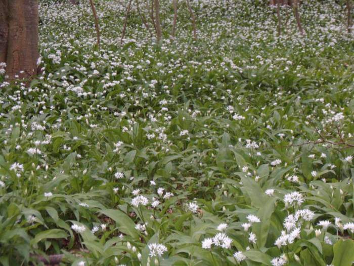 And a strong smell of wild garlic.