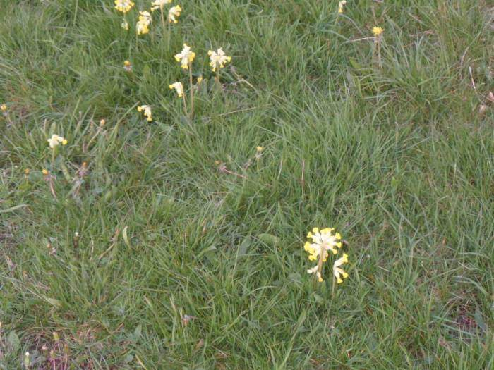 Now there are cowslips
