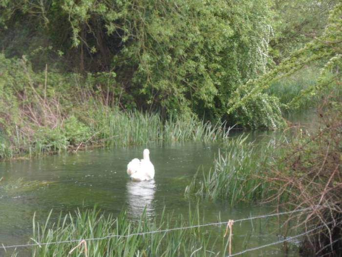 The emblematic Swan of Southrop