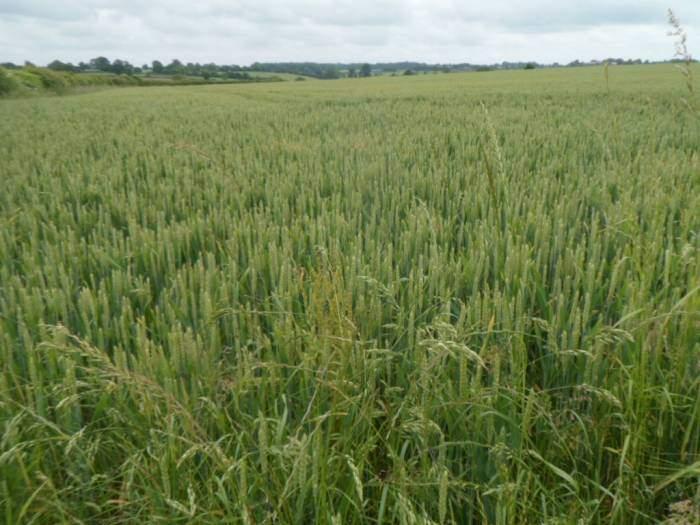 Fields of wheat