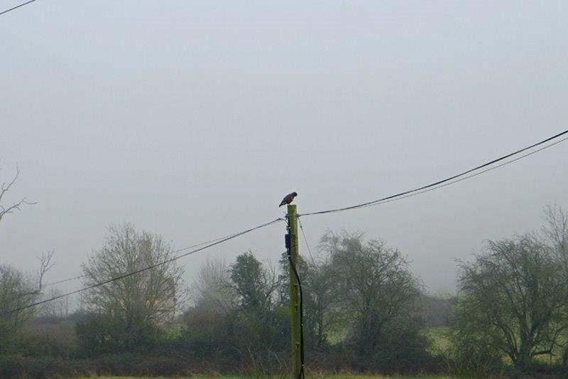 A buzzard on a telegraph pole