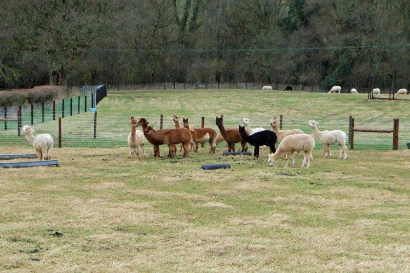 Multi cultural alpacas