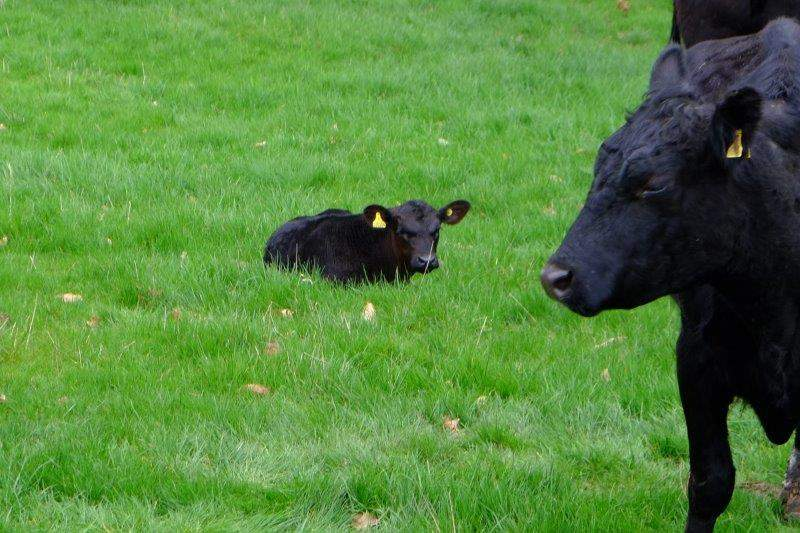 Mum with her new calf