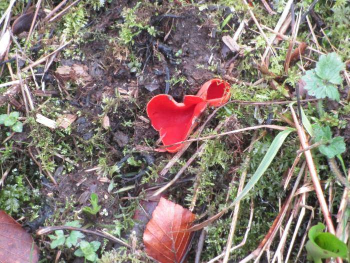 Sue points out Elf Cup fungus