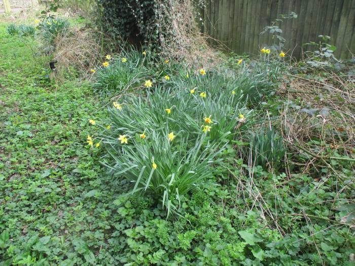 These don't look like wild daffodils beside the cycle path