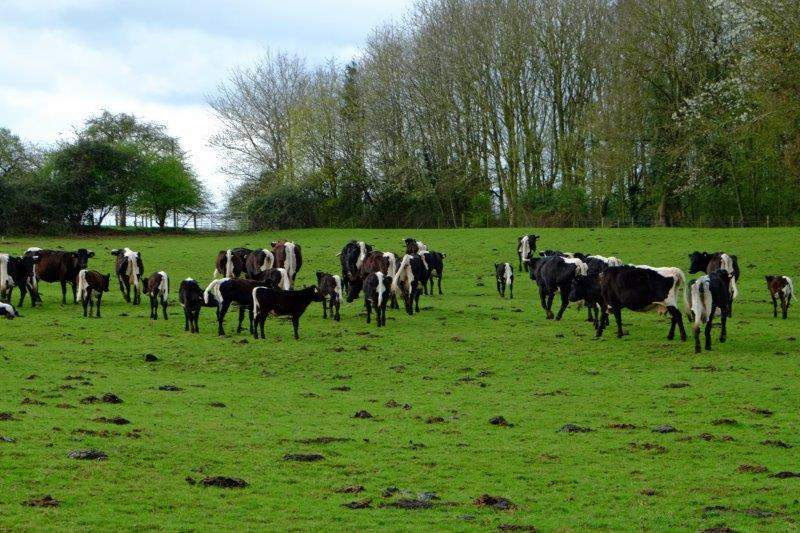 Gloucester Cattle - nearly extinct a few years ago but now increasing in  numbers. Can be traced back to the 13th Century