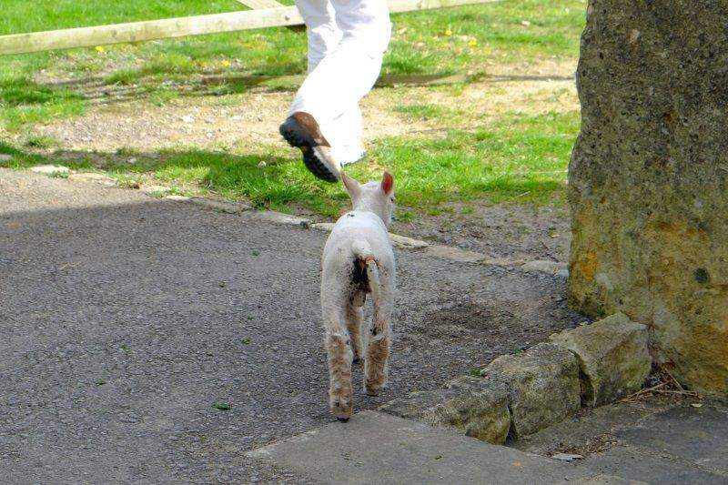 And this is a pet lamb apparently