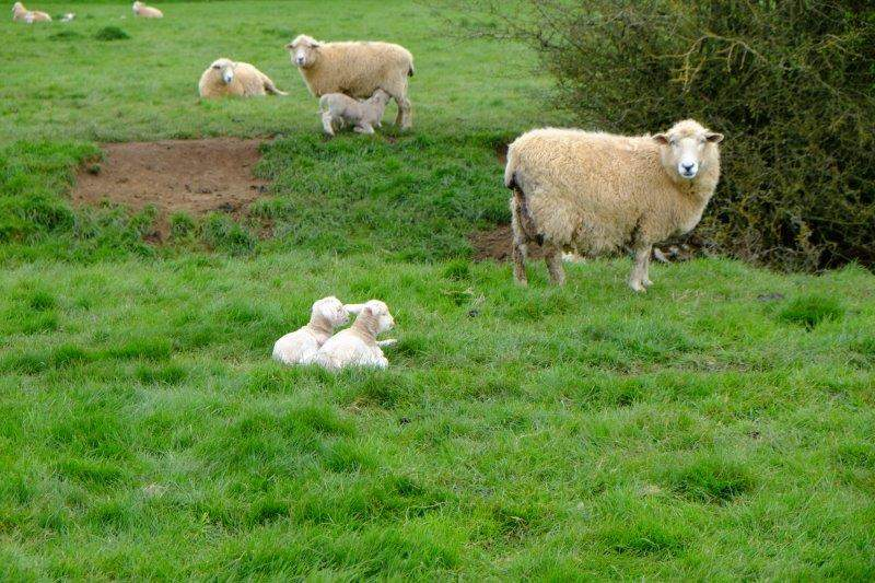 Heading across fields - plenty of new lambs