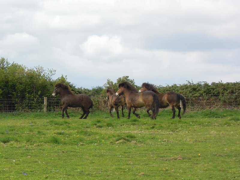 And some lively Exmoor ponies charging around