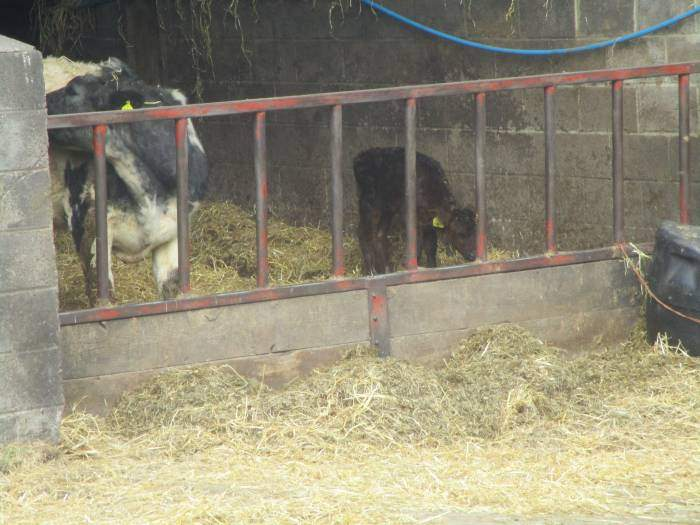 Young calf in the farmyard at the bottom