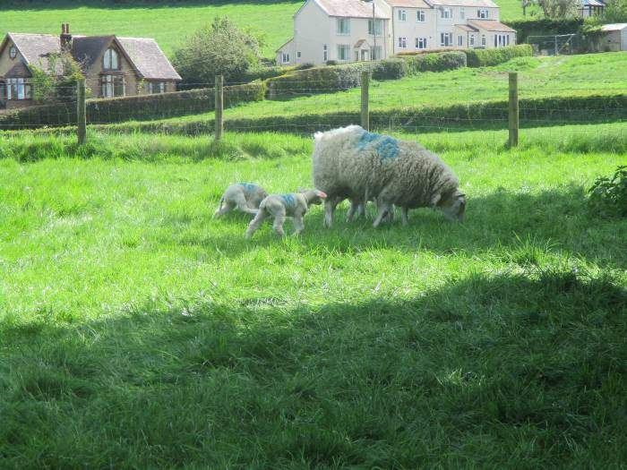 Past ewes and lambs