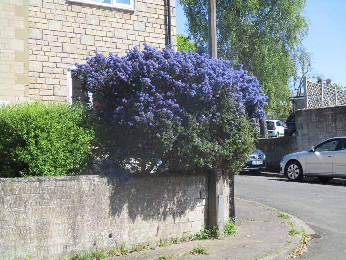 A beautiful ceanothus on the road