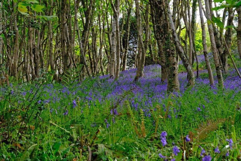 Woods full of bluebells