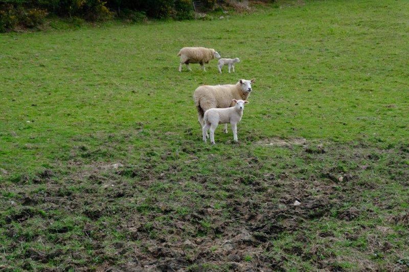 Through fields of sheep