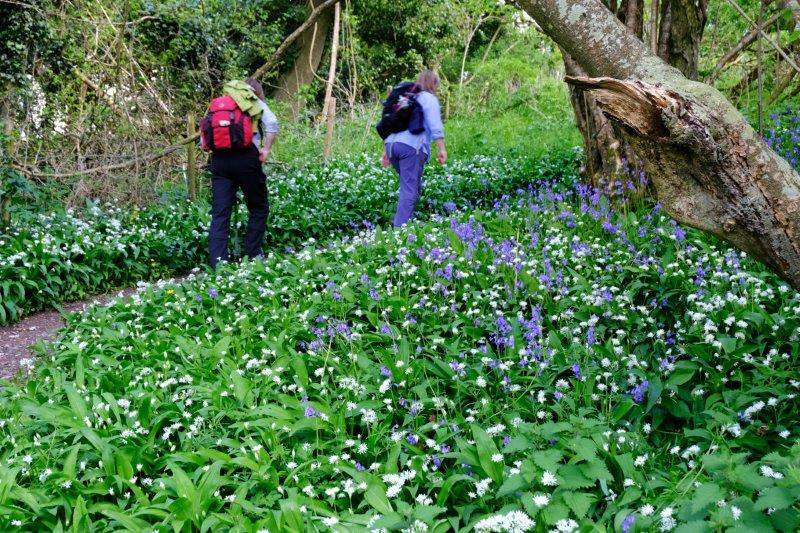 The path winds through wild garlic and bluebells