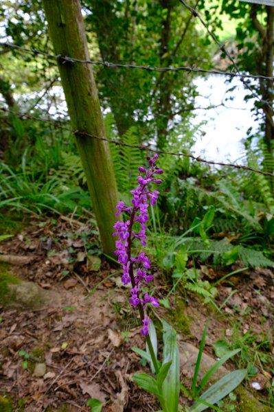 A very tall early purple orchid