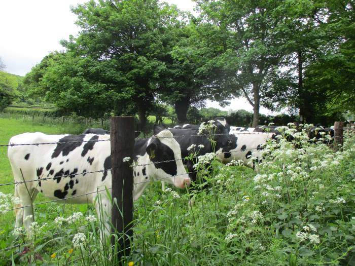 Cows keen to see us