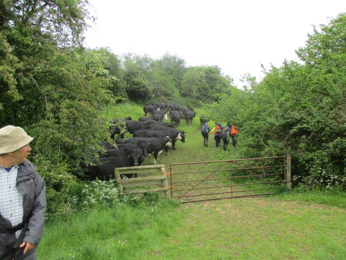 We watch anxiously as a group of DOE lads go through the already wound up cattle but they take our advice to go slowly and we continue back to Painswick