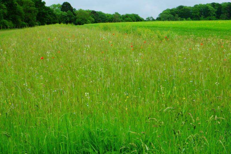 A strip of a meadow given over to wild flowers