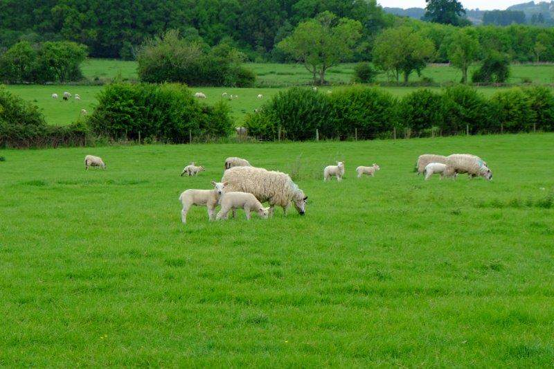 And more sheep pastures