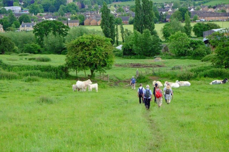 Through a herd of charolais cattle