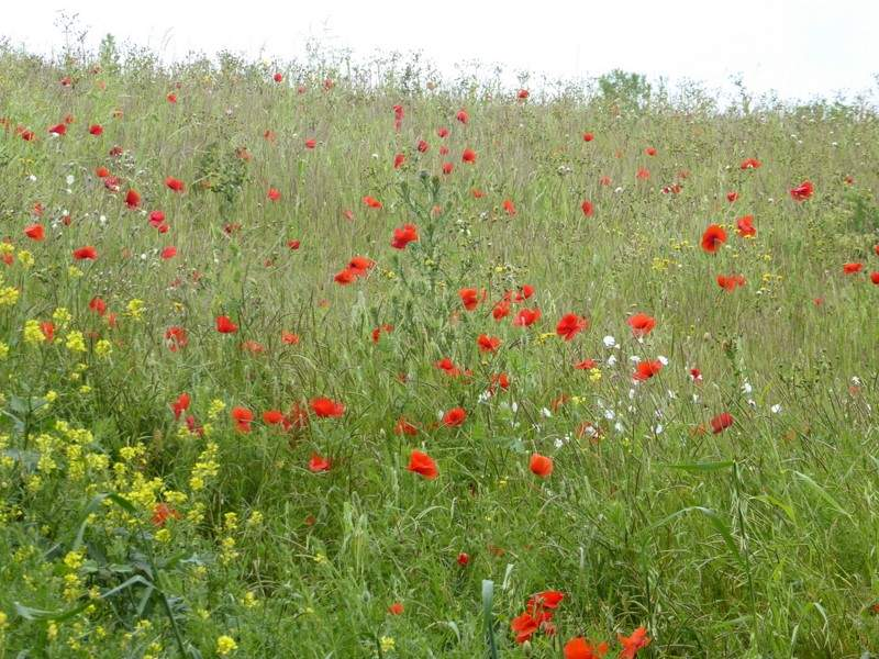 Poppies and other wild flowers in this set-aside field margin