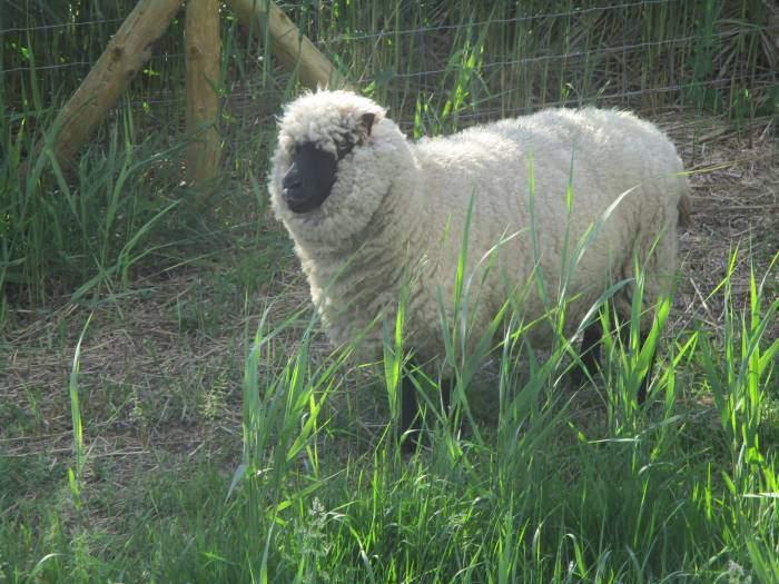 An unusual looking sheep