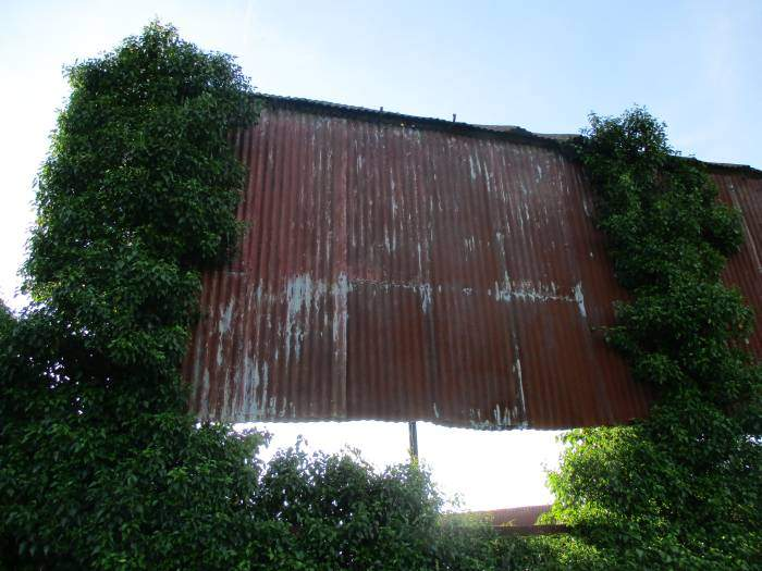 Is it only the ivy holding this corrugated iron side of the barn up?