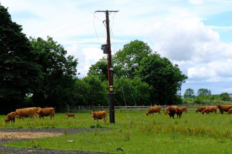 Giffords Circus is on the road, so cattle are in their field